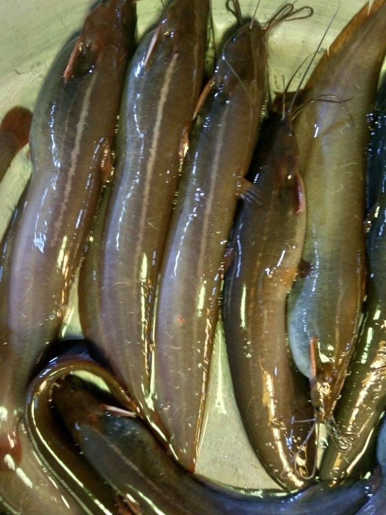 Shing Medium Size Deshi Fish